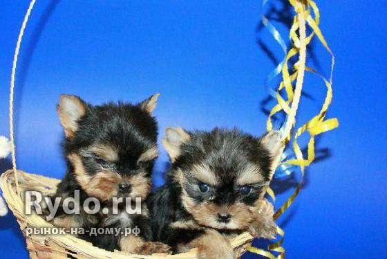 Продаются щенки йоркширского терьера прокопьевск
