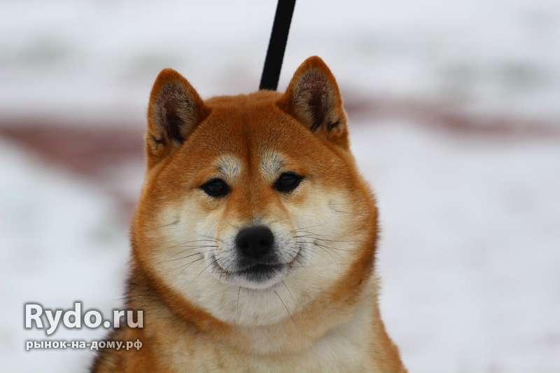 Собака сиба ину цена в москве