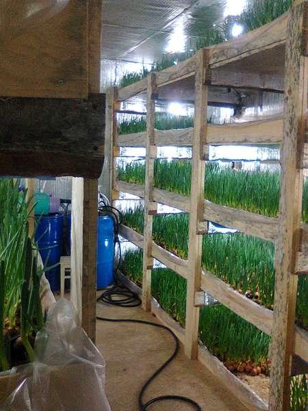 Выращивание лука на перо в домашних условиях зимой на продажу 59