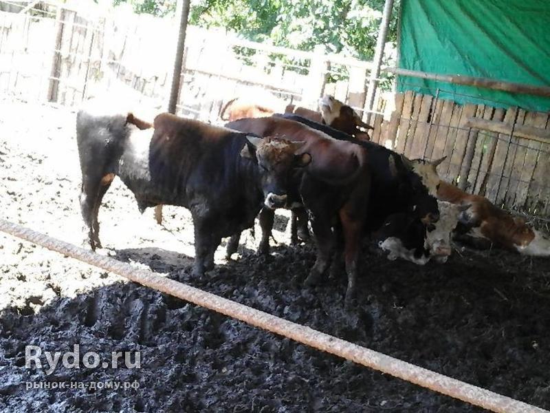Как откормить бычков в домашних условиях 873
