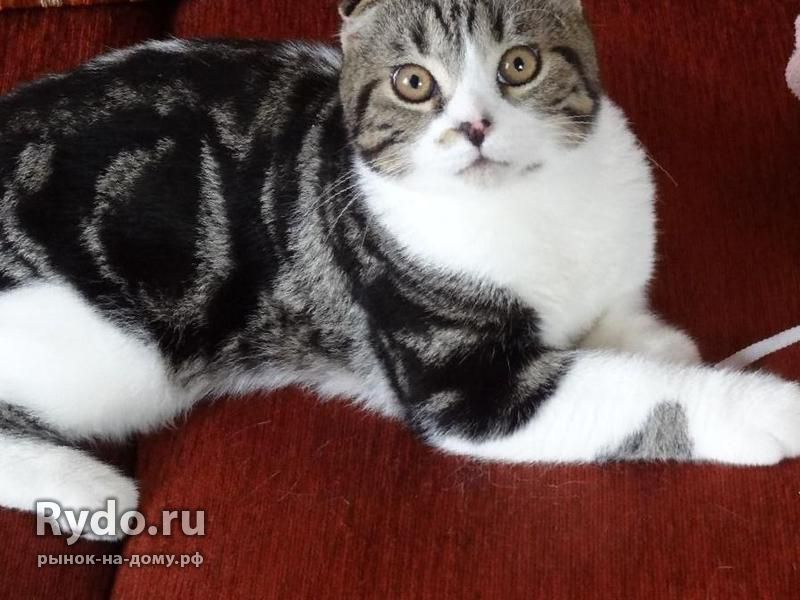 кошки породы бентли