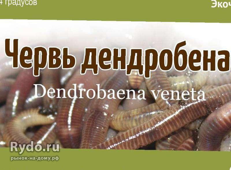 черви дендробена для рыбалки