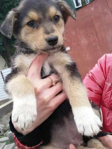 Девчонка с мордочкой лисы — Собаки и щенки в Майкопе