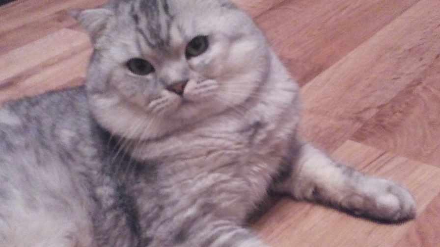 Британские коты вязка оренбург