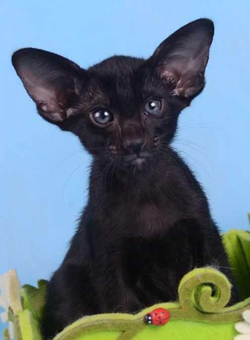 Фото котят ориентальной породы